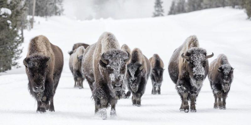 america clima fauna bison