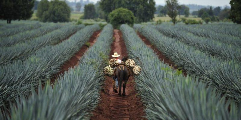 cultura mexicana agave azul tequila