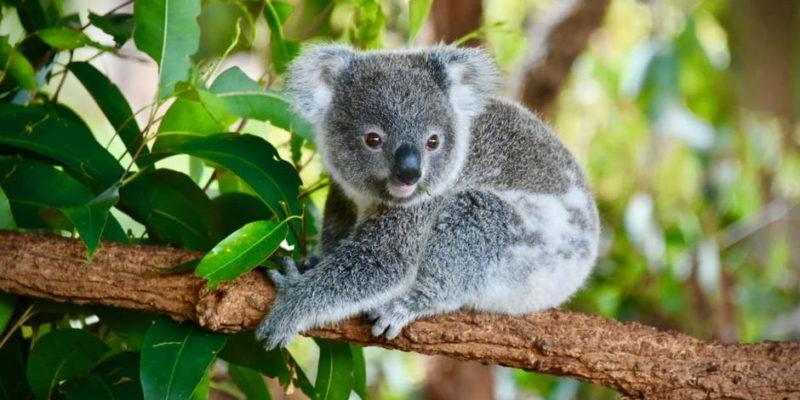 oceania fauna koala marsupial