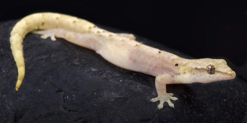 partenogenesis reproduccion gecko