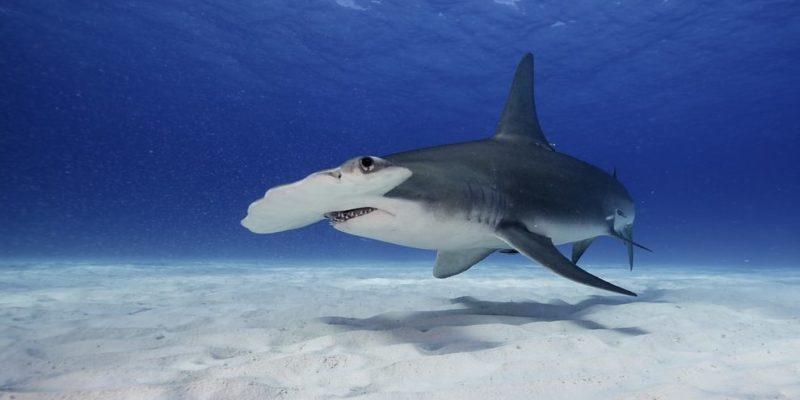 partenogenesis reproduccion tiburon martillo