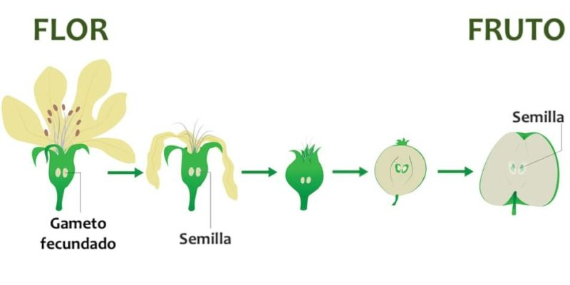 reproduccion de las plantas sexual fruto flor