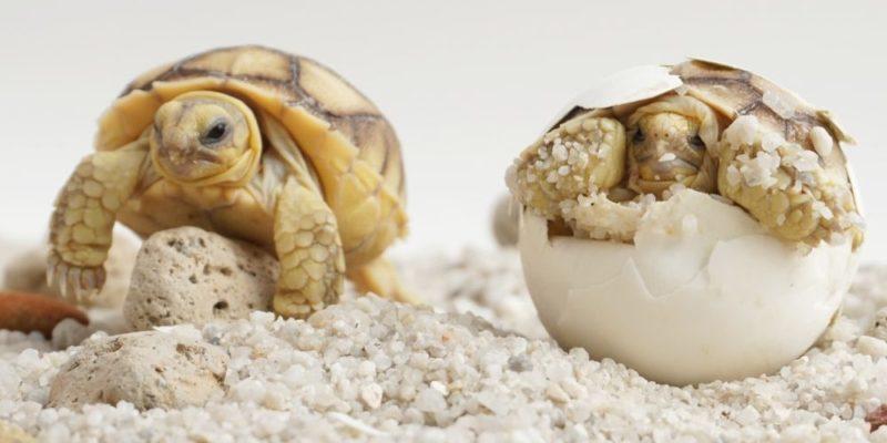 reproduccion de los animales tortuga