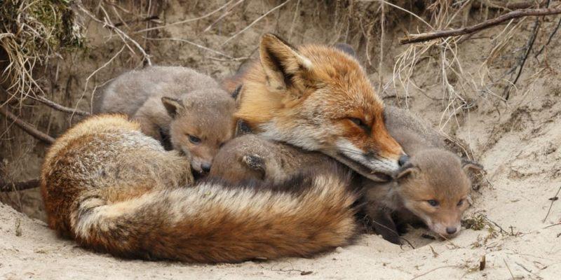 reproduccion de los animales zorro