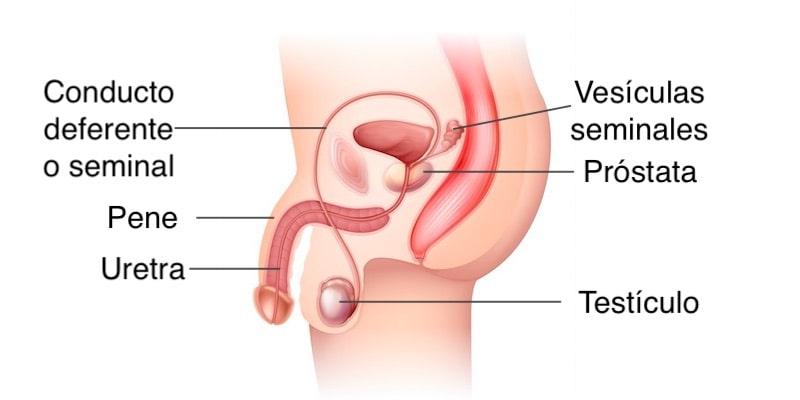 reproduccion humana aparato reproductor masculino