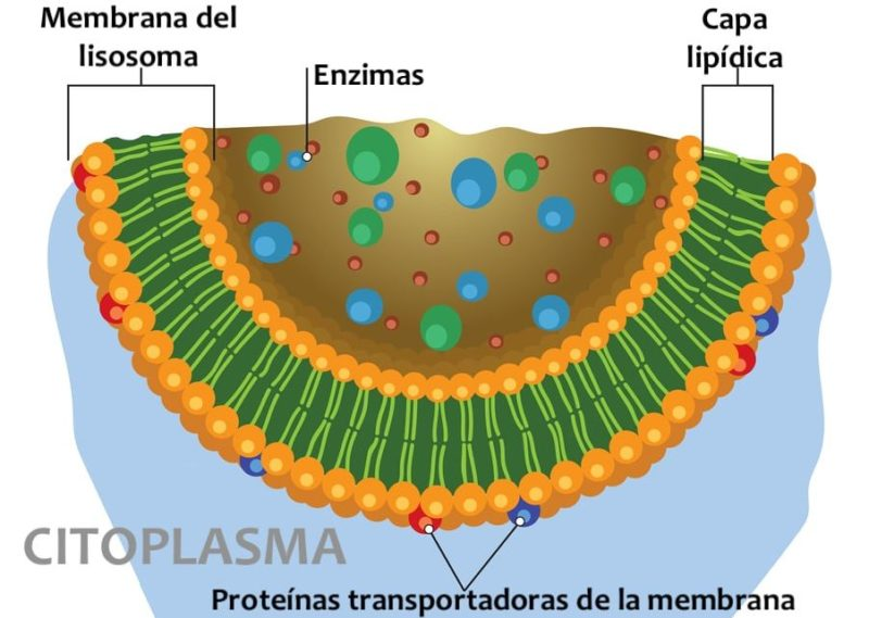 lisosoma estructura membrana