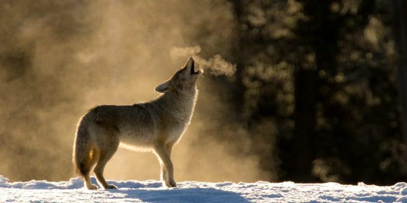 lobo aullido