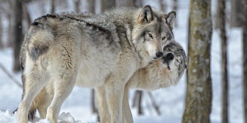 lobo macho hembra alfa