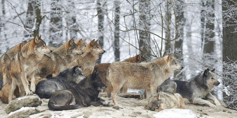 lobo manada pelaje colores