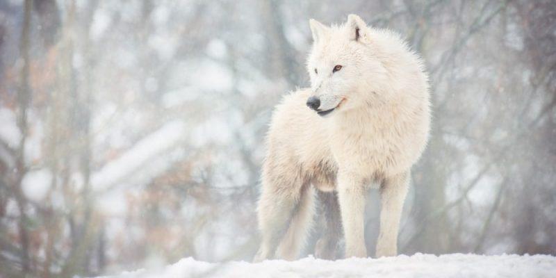 lobos tipos canis lupus arctos
