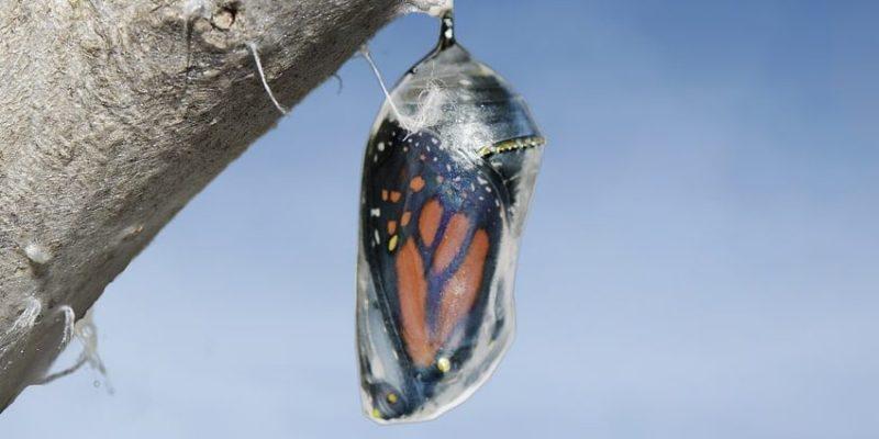 mariposa caracteristicas crisalidad pupa