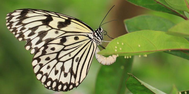 mariposa ciclo de vida huevos