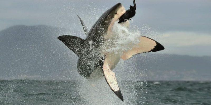 tiburon blanco alimentacion
