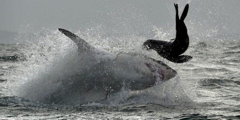 tiburones alimentacion depredador