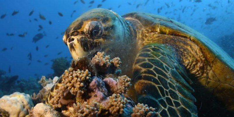 tortuga alimentacion coral