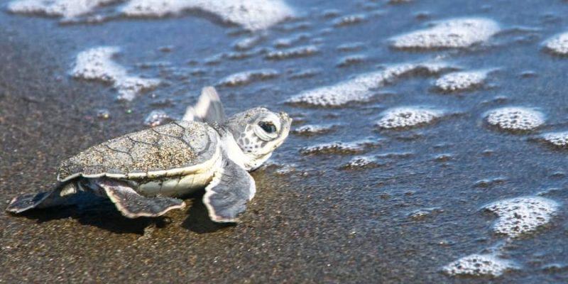 tortuga reproduccion