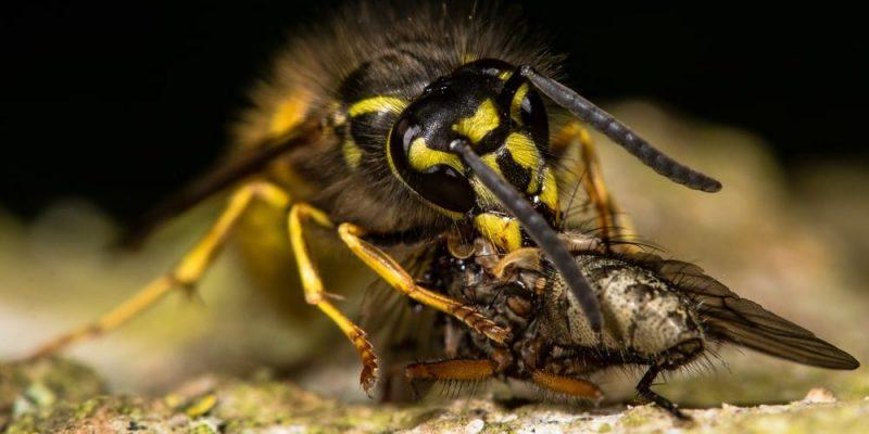 abejas avispas