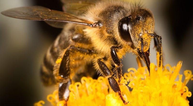 abejas importancia polinizacion