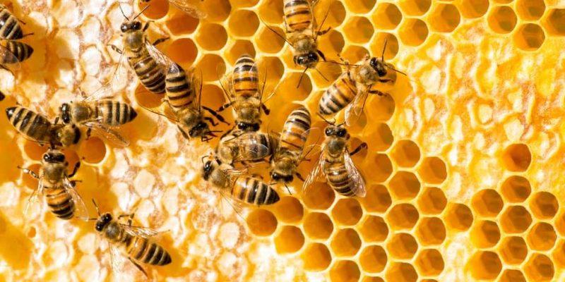 abejas panal