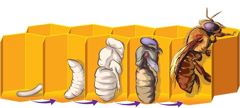 abejas reproduccion metamorfosis