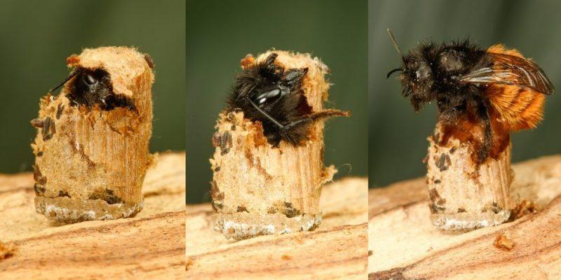 metamorfosis abeja