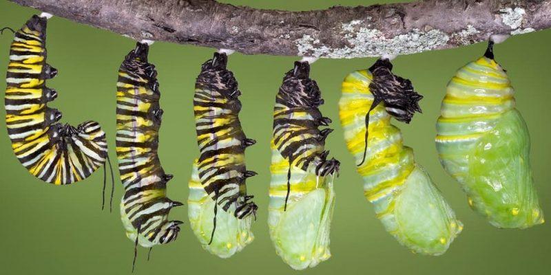 metamorfosis crisalida mariposa