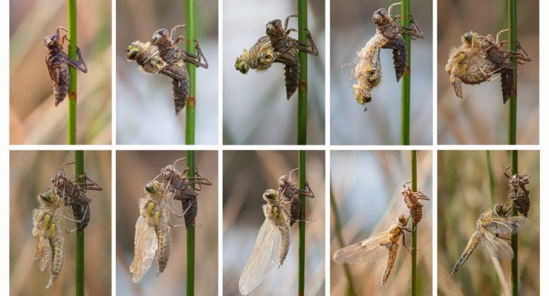 metamorfosis libelula