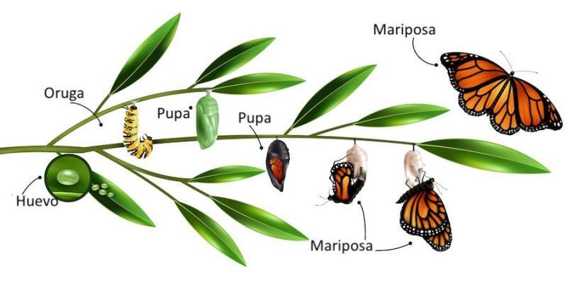Metamorfosis - Concepto y ejemplos: mariposas, ranas, libélulas