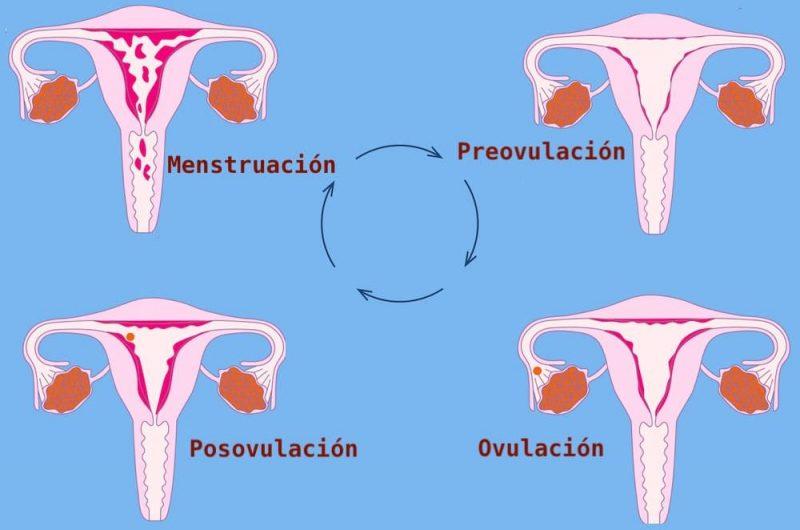 ciclo menstrual reproduccion
