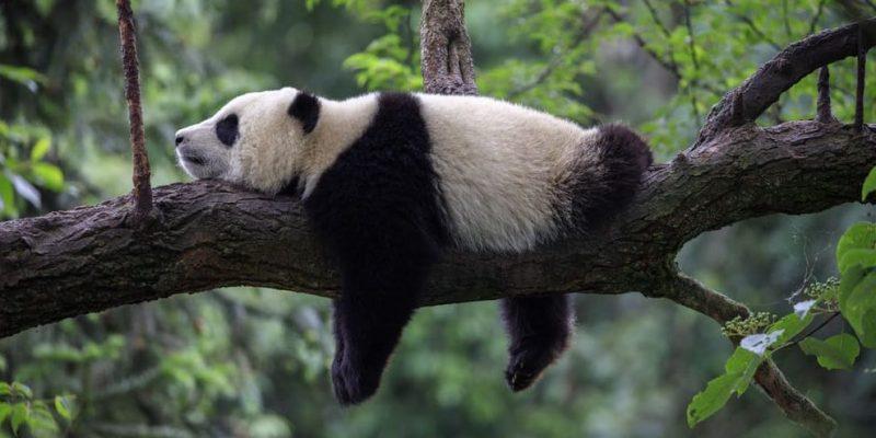escasez biologia panda