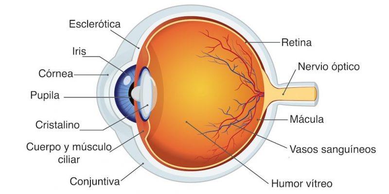 sentido de la vista anatomia del ojo