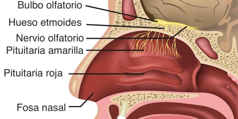 sentido del olfato receptores olfativos anatomia