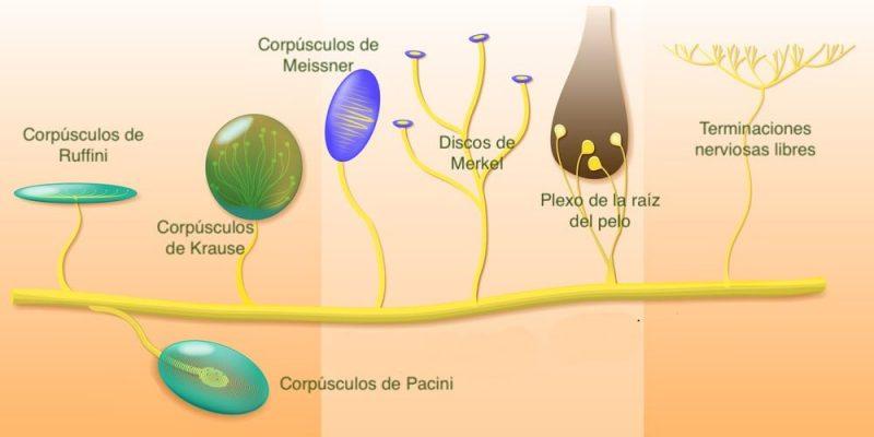 sentido del tacto receptores nerviosos
