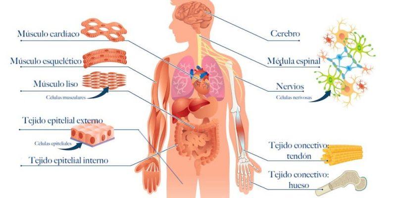 tejidos del cuerpo