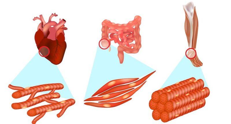 tejidos del cuerpo muscular