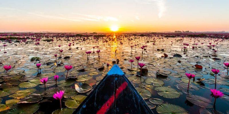 flor de loto donde creace