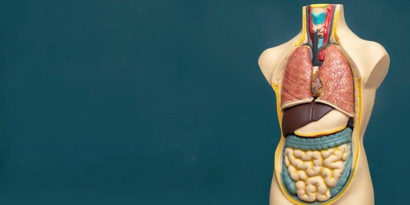 partes del cuerpo humano torso
