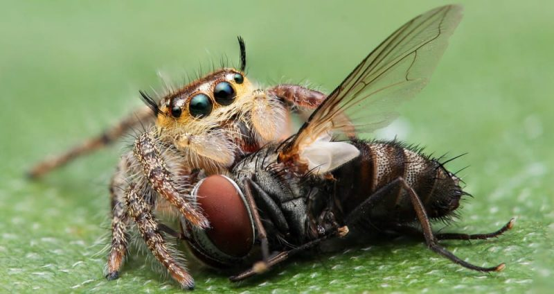 araña que come alimentacion