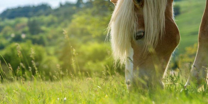 caballos alimentacion que comen