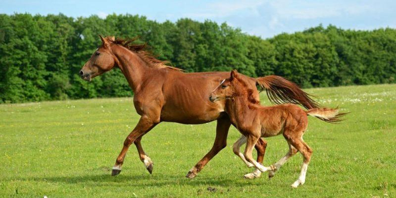 caballos reproduccion