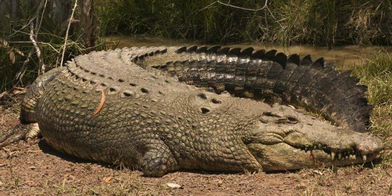 cocodrilo marino mas grande