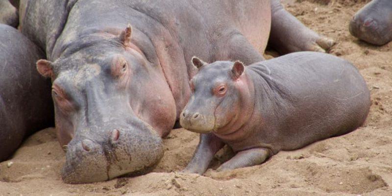 hipopotamo reproduccion