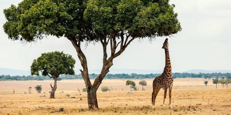 jirafa alimentacion que comen