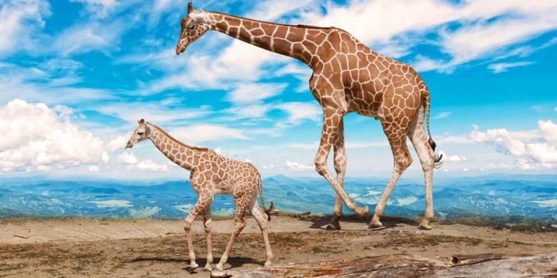 jirafa reproduccion