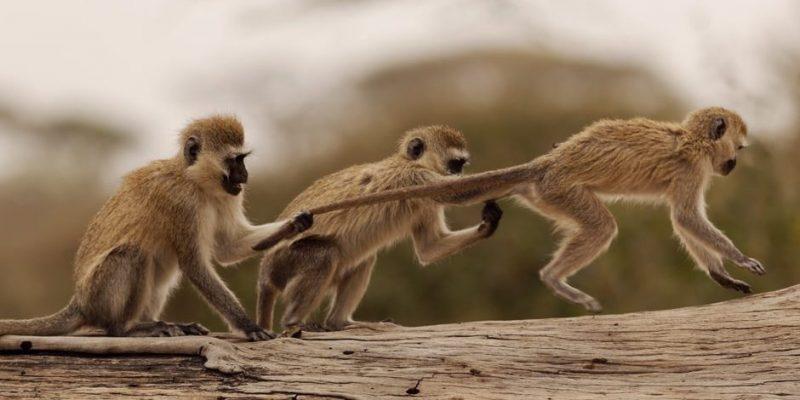 mono caracteristicas