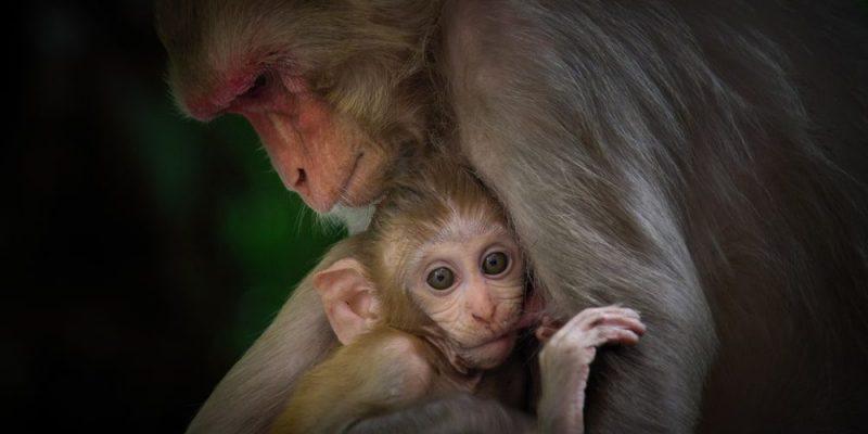 mono reproduccion