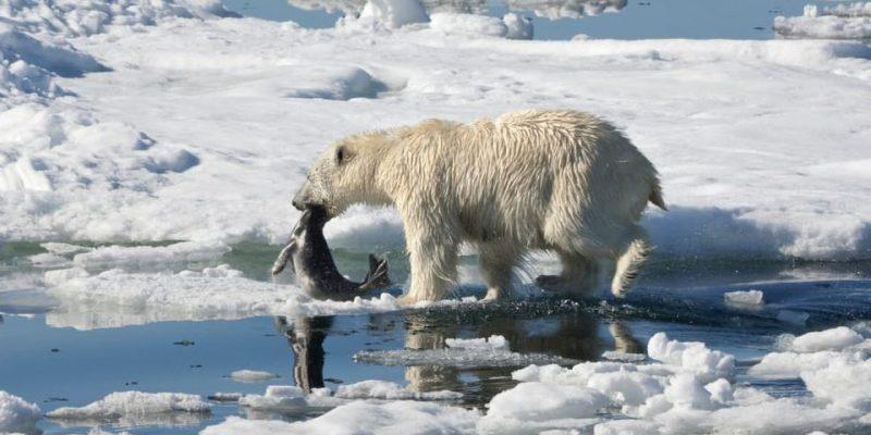 oso polar alimentacion que come