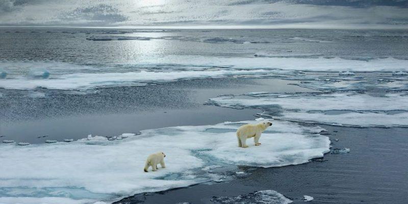 oso polar peligro de extincion