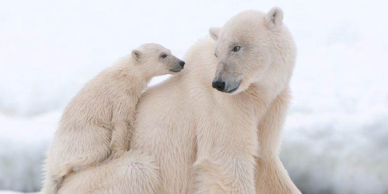 oso polar reproduccion