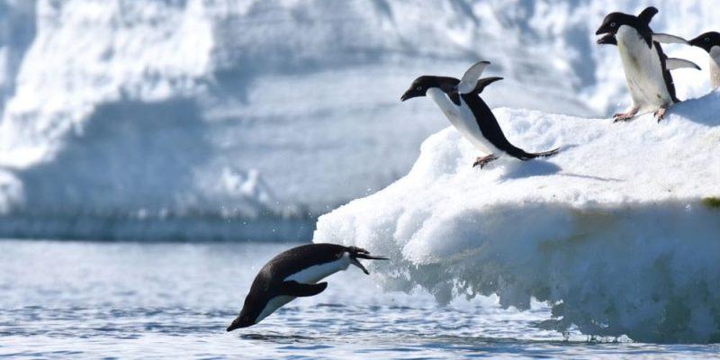 pinguino caracteristicas